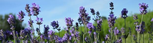 cropped-lavenderheader11.jpg